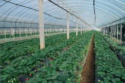 草莓專用膜